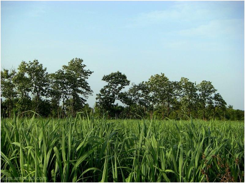 Sugarcane Fields