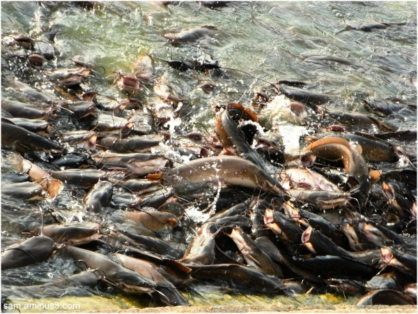 Fish Rush Mylapore Temple Tank