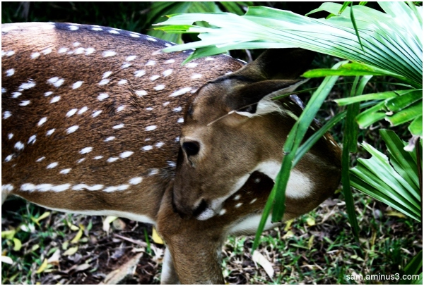 Guindy National Park Spotted Deer