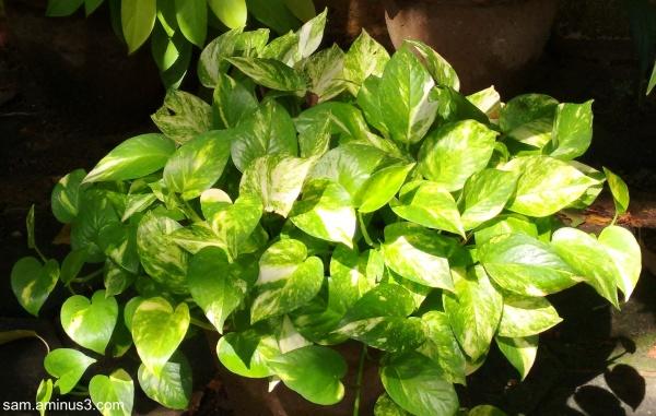 Mony Plant