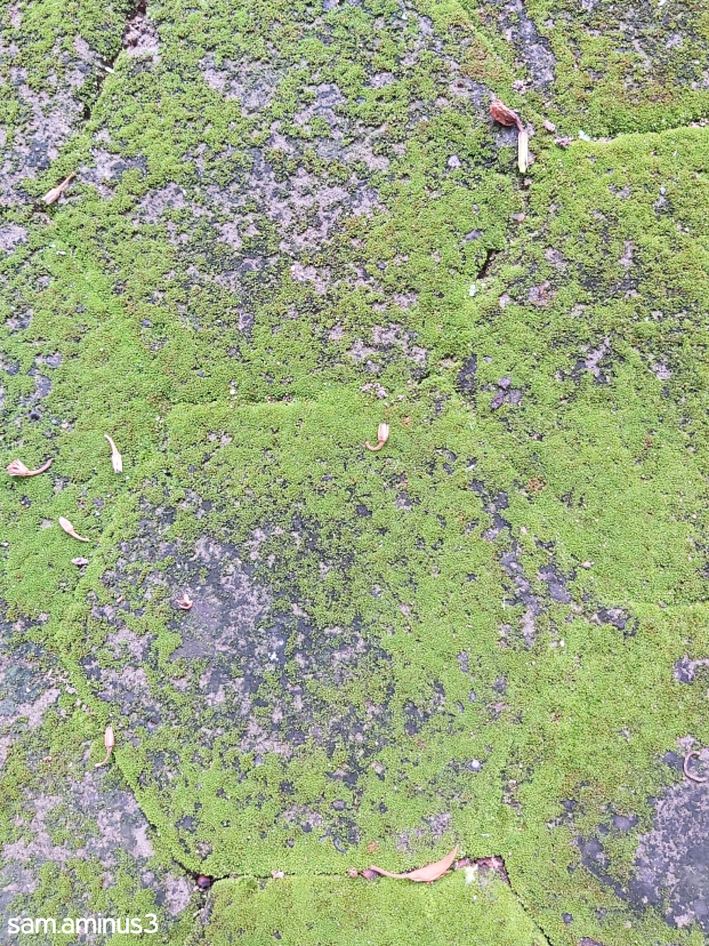 Moss on the Footpath
