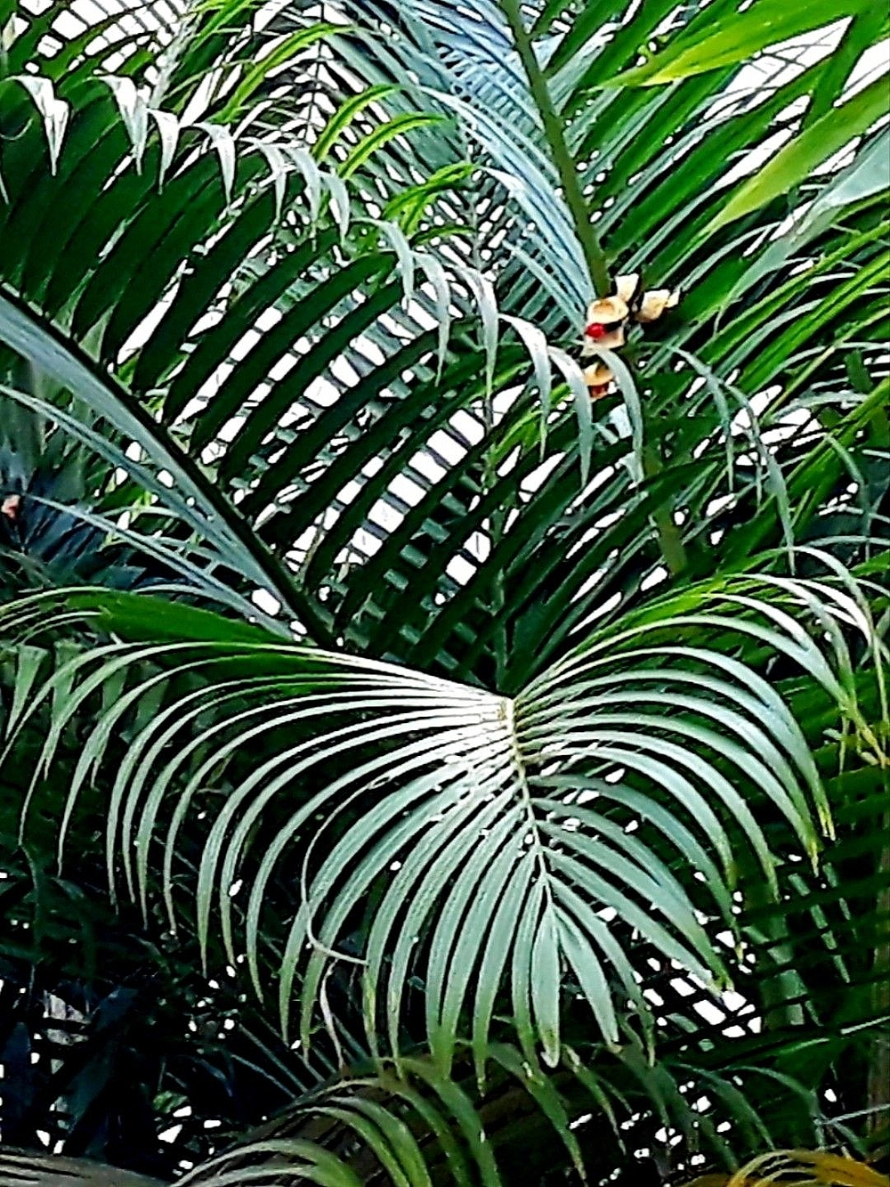 The Palm Leaves