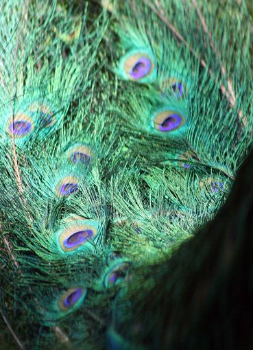 peacock fly