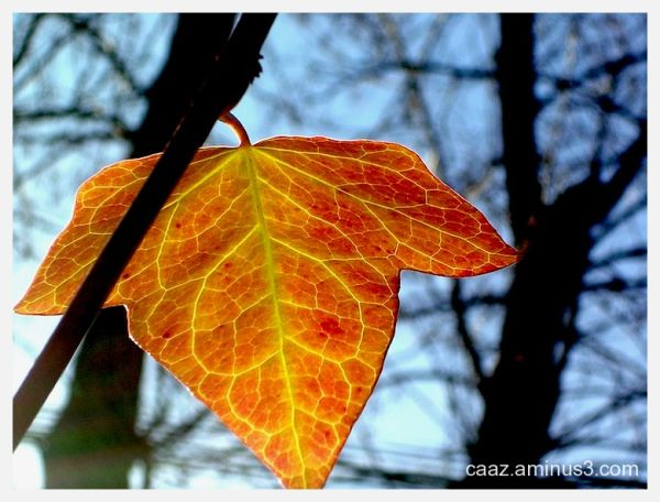 A backlighting shot of a ivy leaf
