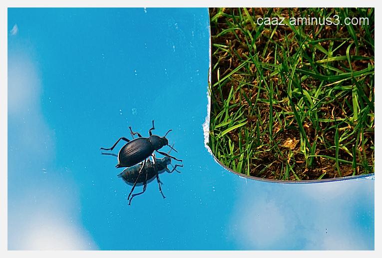 escarabajo de cementerio (Blaps mortisaga) coqueto