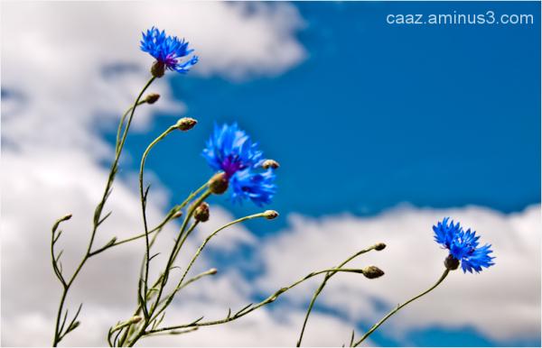 blue sky: centaurea cyanus