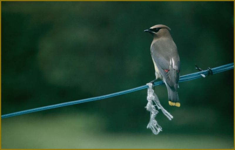 Photo of a Cedar Waxwing perched on a clothesline
