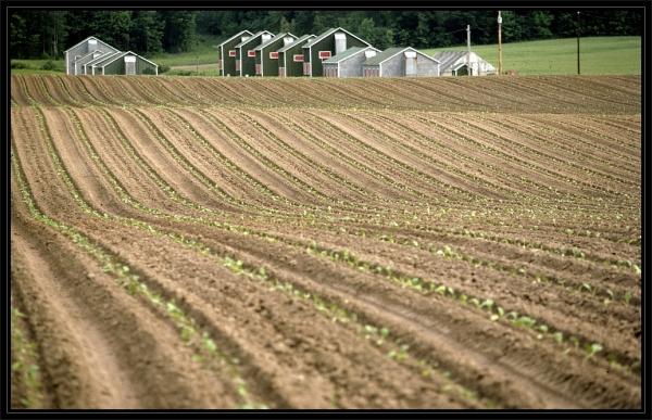 Tobacco Kilns on Farm Near Simcoe, Onatrio