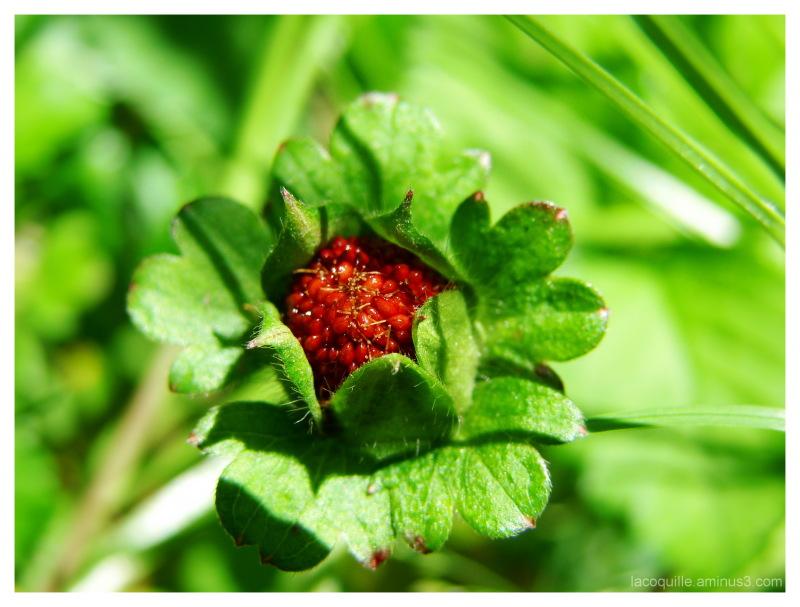 fraise des bois wild strawberry plant nature photos laetitia cini 39 s photoblog. Black Bedroom Furniture Sets. Home Design Ideas