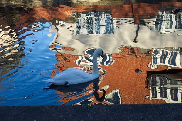 Swan causes disturbance