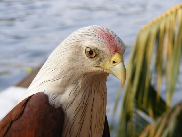 "Bald Eagle-""hand tamed"""