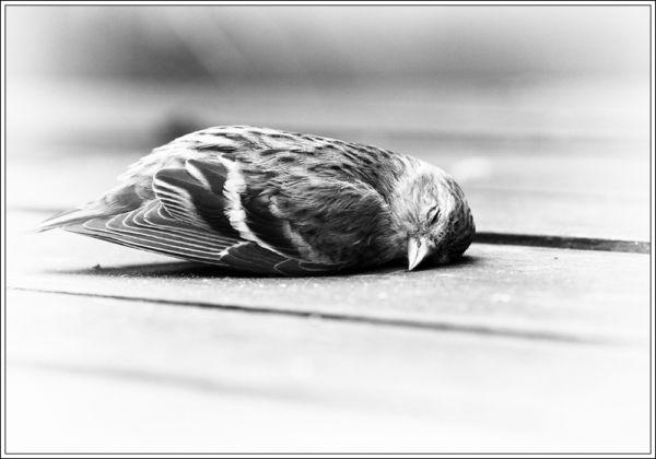 dead eurasian siskin