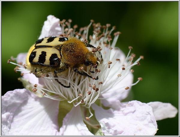 penseelkever bee beetle
