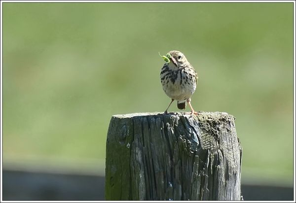 Meadow pipit or tree pipit with food for its chick
