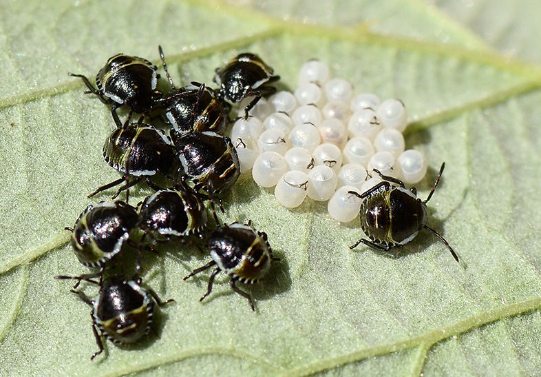shieldbug nymphs and eggs