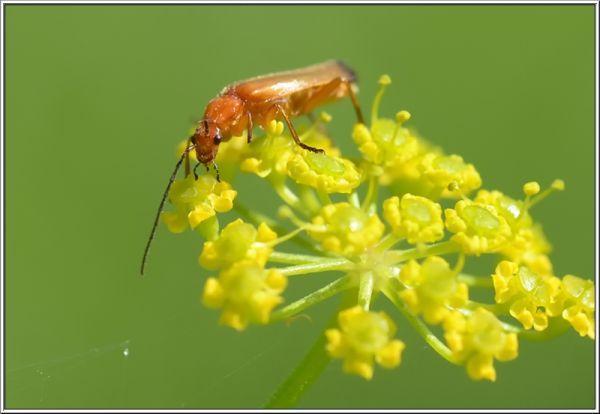 Soldier beetle, Rhagonycha fulva