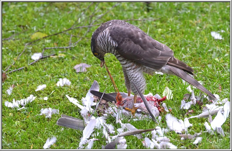sperwer sparrowhawk