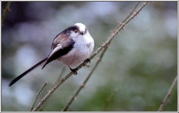 staartmees longtailed tit