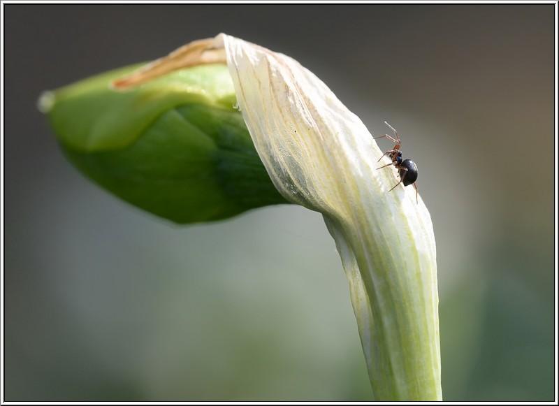 little spider on daffodil bud
