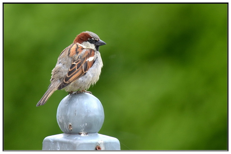 House sparrow, huismus