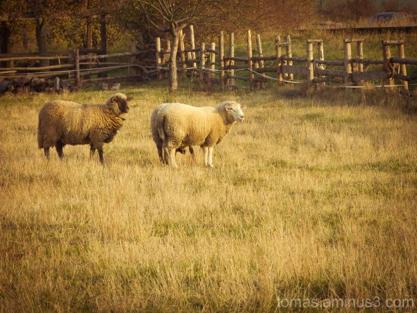 ovce na pastve