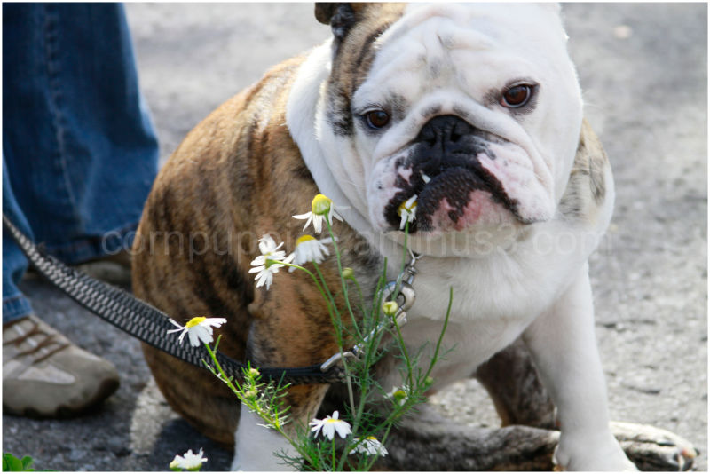 Dogs and Daisies
