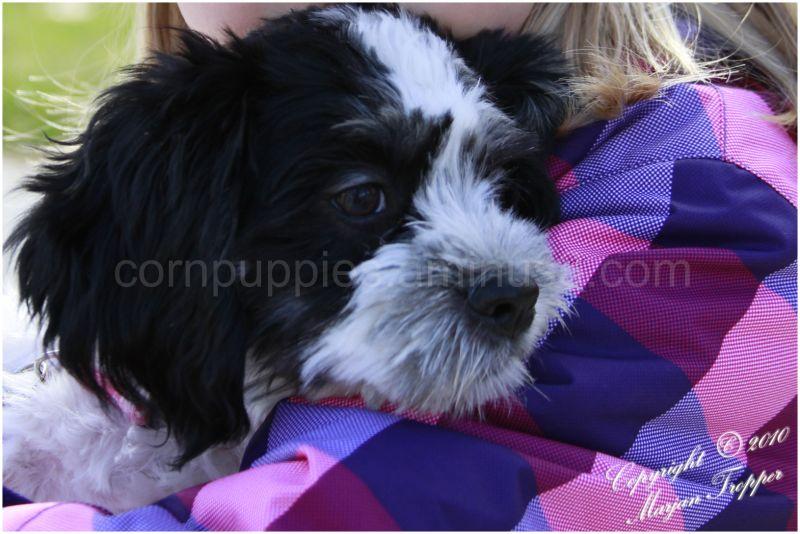 zoe puppy terrier