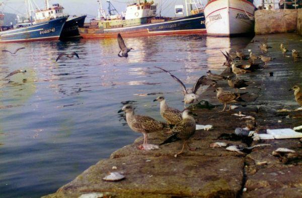 Seagulls in Muros Galicia Spain
