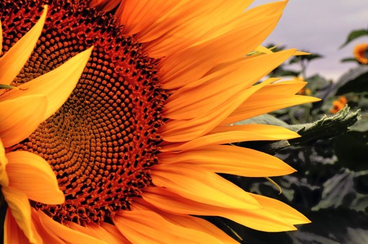 sunflower, flower, nature, wild, macro, photo, sun