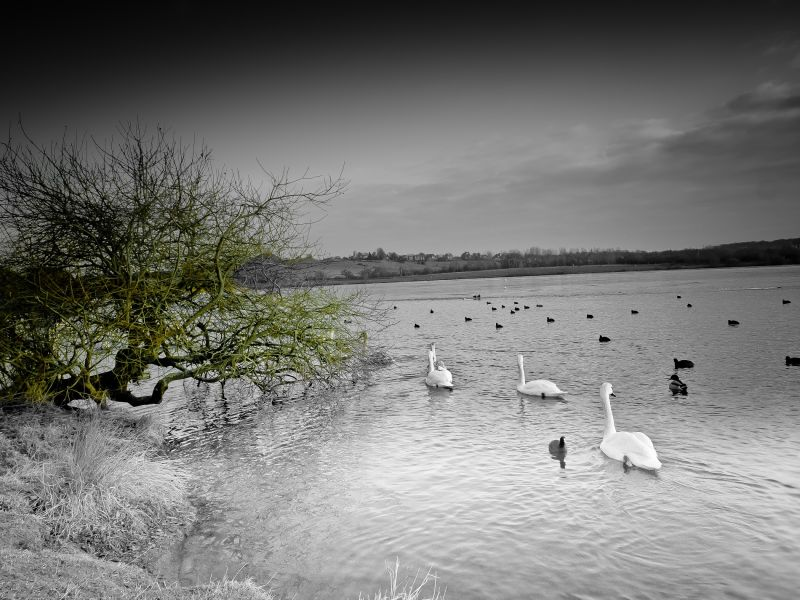 Swan Lake #2