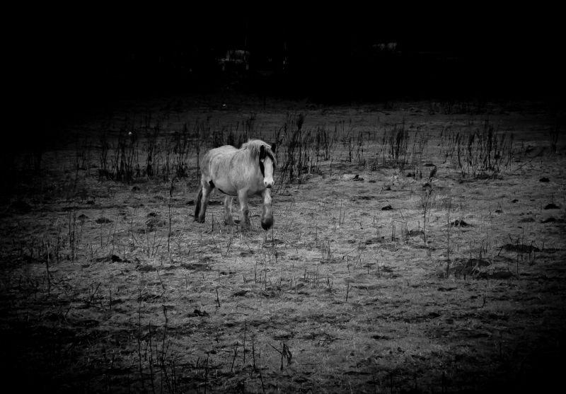 Equus caballus #2