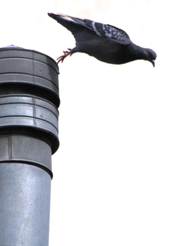 کبوتر...پرید!؟