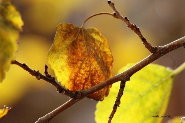 ... زرد چون پاییز ...