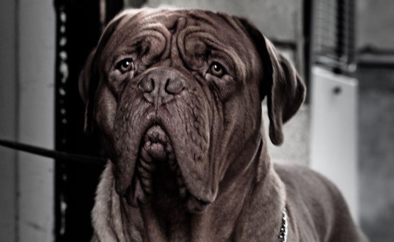 bordeuaux boarhound
