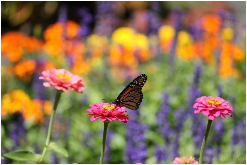 the monarch and monet