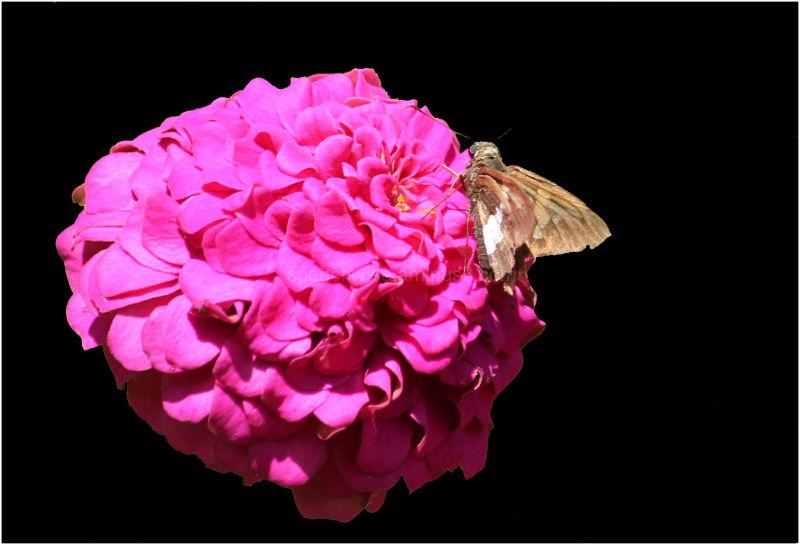 moth&flower