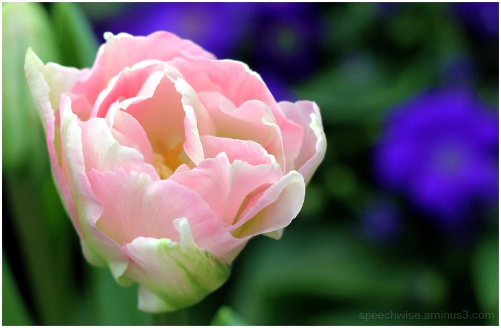 lightly pink