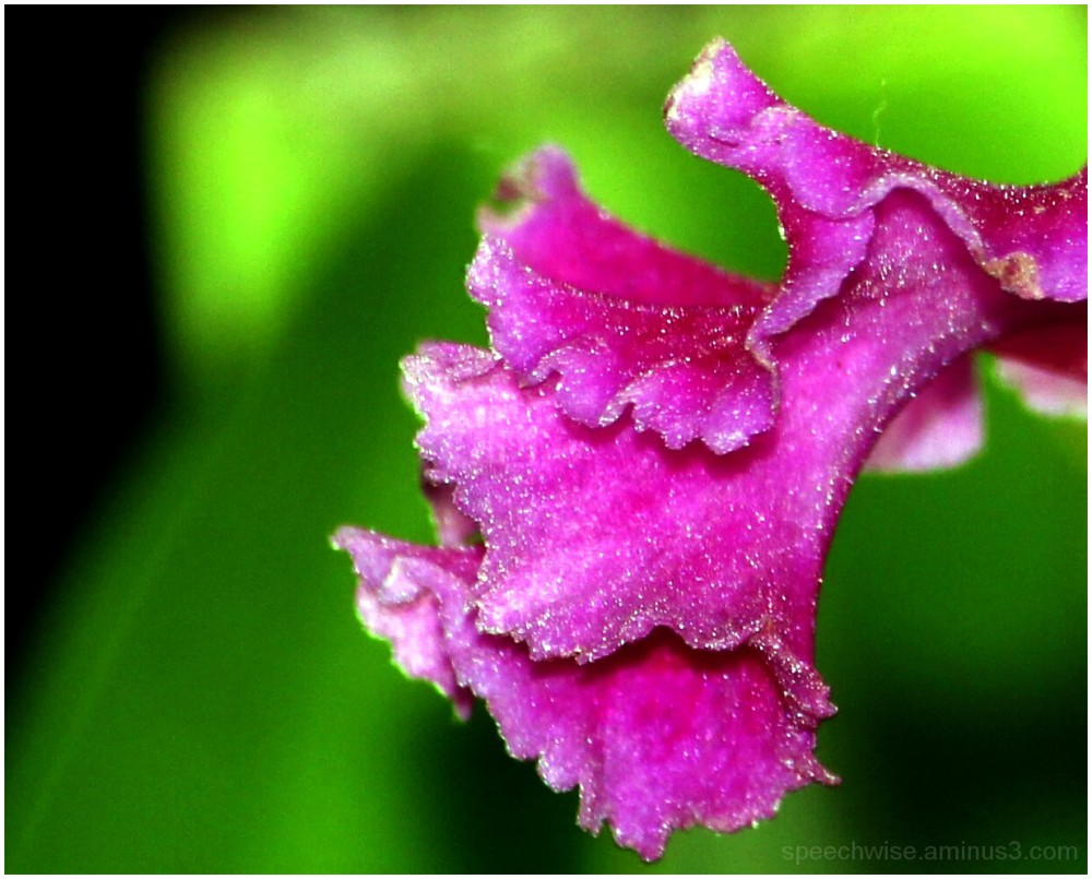 orchid's wing