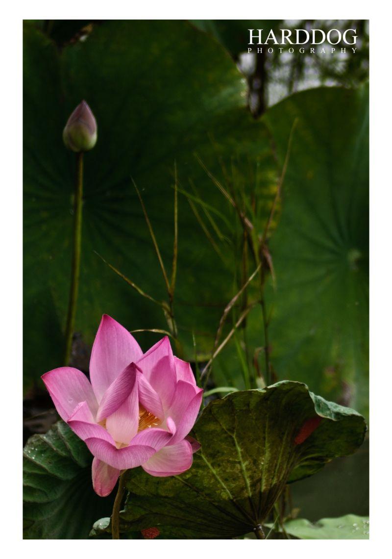 lotus 26
