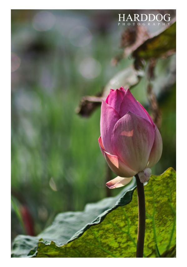 lotus 28