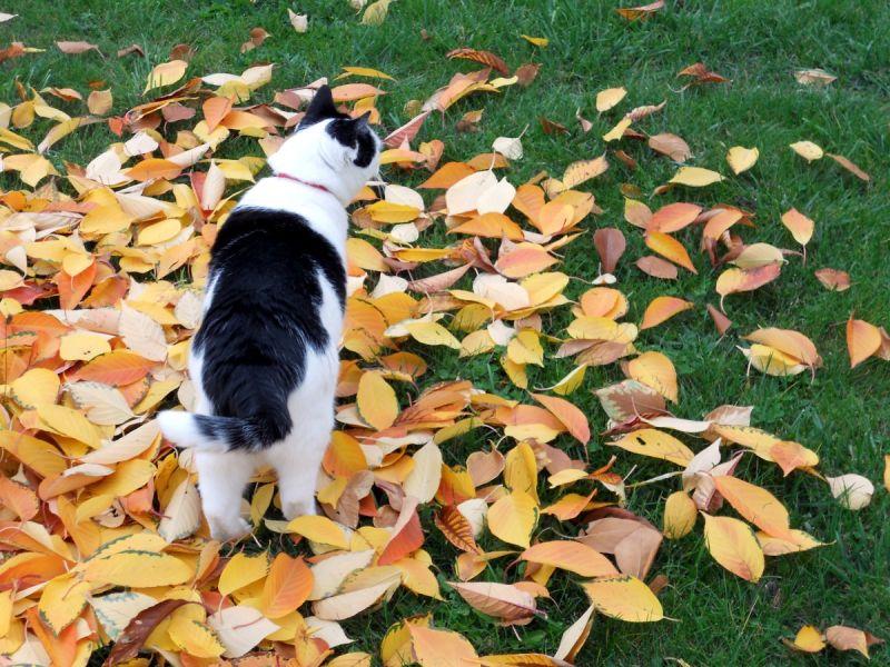 Chat feuilles automne cat leaves autumn