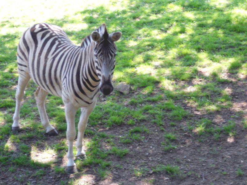 zébre Afrique zoo PAL zebra Africa