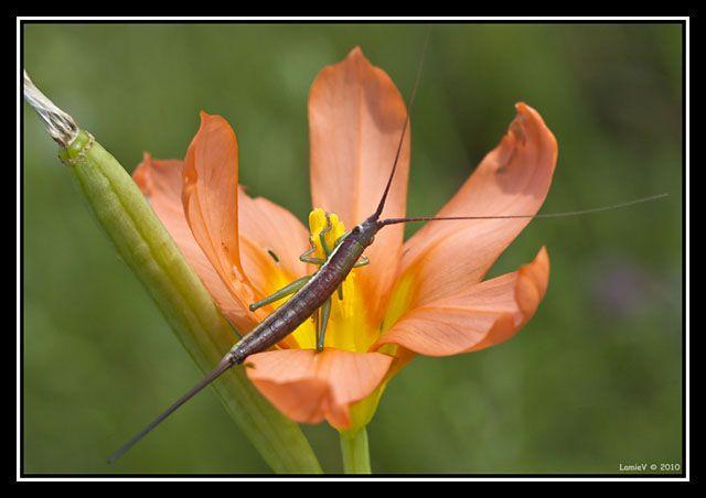 Cricket species
