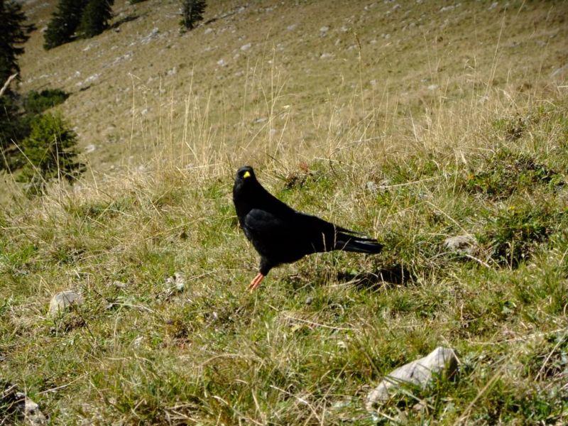 schliersee bergdohle alpine-chough