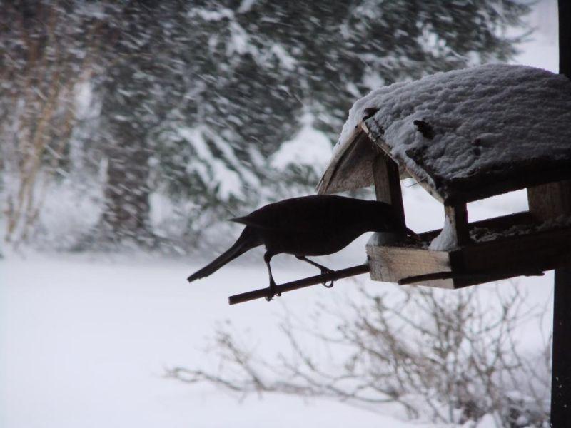 ravens III