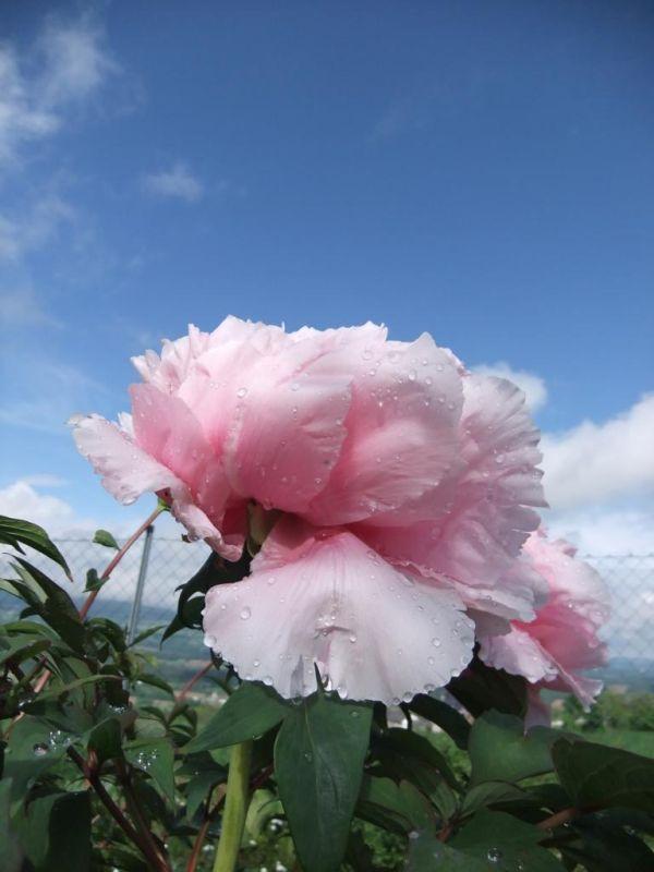 rosa Frühlingsgruß