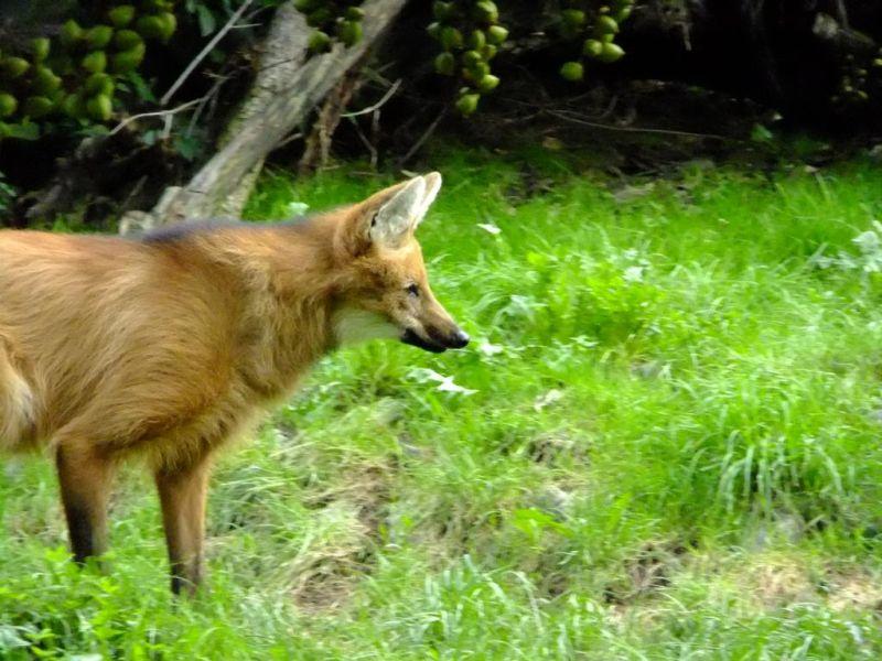 maned wolf - Mähnenwolf