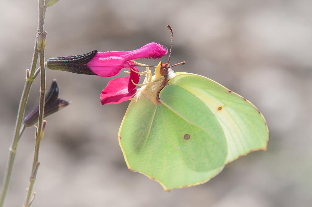 papillon et jleur de sauge