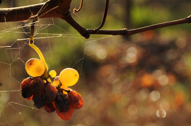 Last grapes in the vineyard autumn