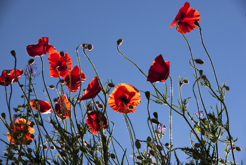 Poppies against the sky.